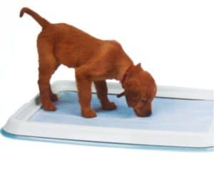 How to train a dog to pee on the pad