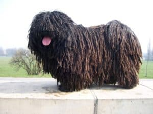 Dog with dreadlocks.