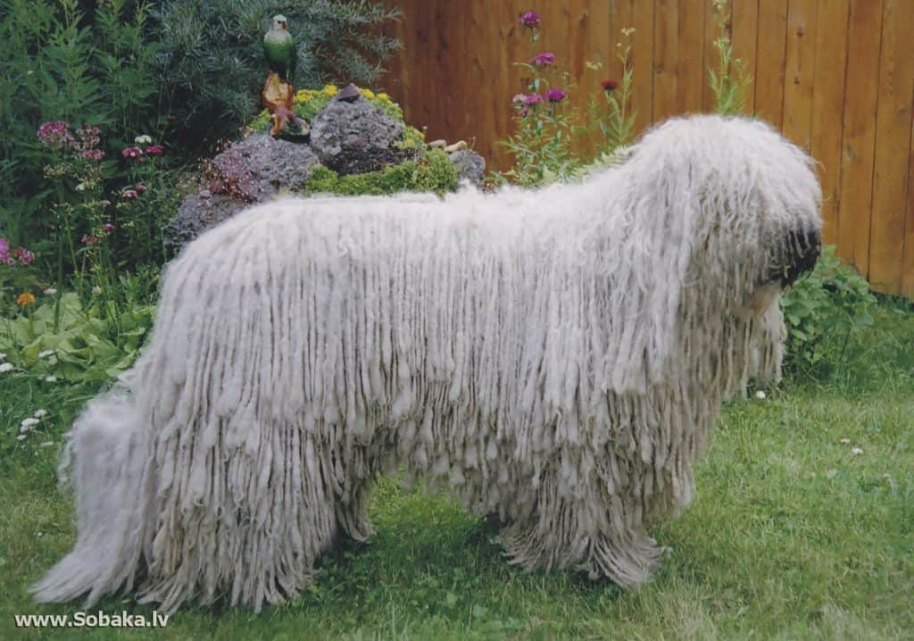 Dog with dreadlocks. 6 Amazing breeds! 1