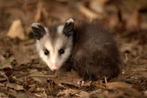 CAN YOU HAVE A POSSUM AS A PET