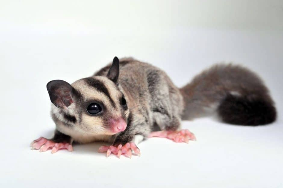 Can You Have A Possum As A Pet? Is There A Danger? 3