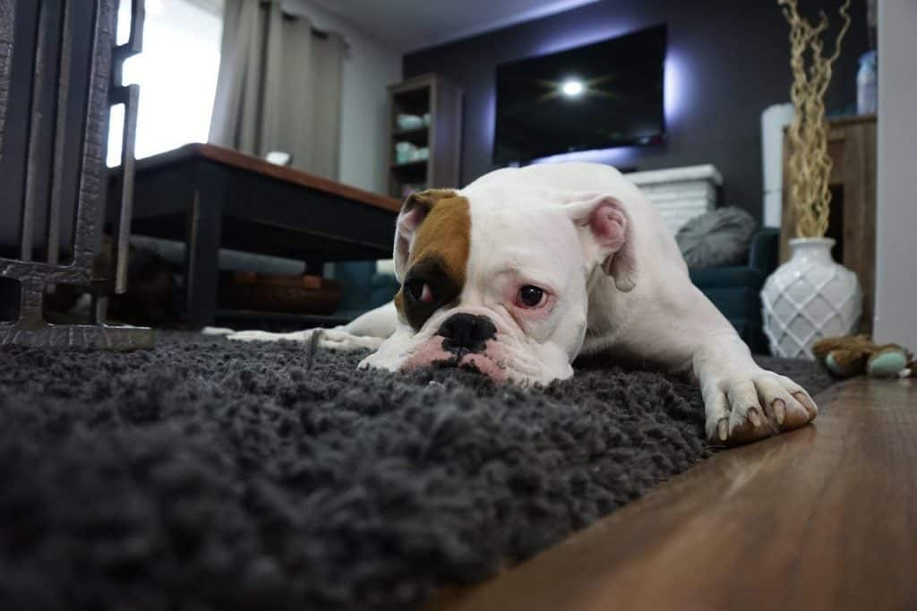 Why Do Dogs Scratch The Carpet? It's Safely? 5 Reason To Know! 1