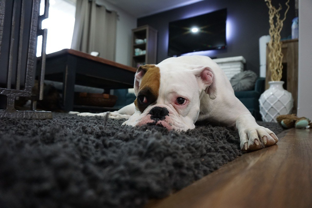 Why Do Dogs Scratch The Carpet