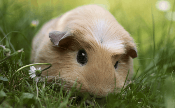 Can guinea pigs eat sweet potato? Amazing facts what you need to know! 2