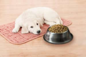 my puppy is not eating, why is my puppy not eating