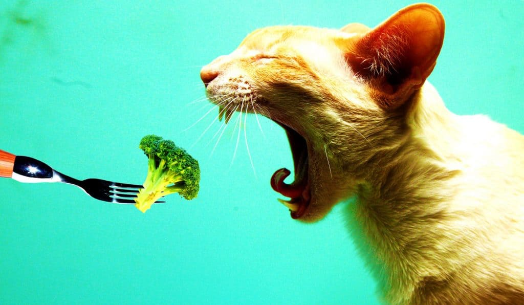 can-cats-eat-broccoli