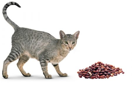 Can Cats Eat Beans?