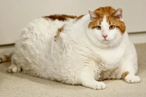 How Much Should a Cat Weigh?
